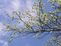 Kers-boom het bloeien Royalty-vrije Stock Foto's
