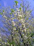 Kers-boom het bloeien Stock Afbeeldingen