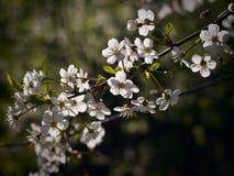 Kers het bloeien Stock Foto