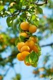 Kers-pruim boom met vruchten Royalty-vrije Stock Fotografie