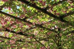 Kers van Japanse van Prunusserrulata de kerselaar/Japanse Stock Foto