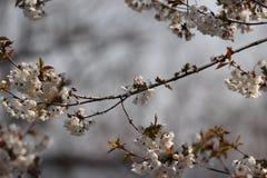 Kersen bloosom sakura in de lente royalty-vrije stock foto
