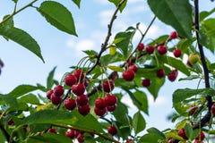 Kersen die op een tak van de kersenboom hangen Kersenboom in de zonnige tuin stock afbeeldingen