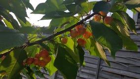 Kersen op de boom Stock Foto's