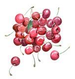 Kersen, waterverfhand geschilderde illustratie, geïsoleerd klem-AR Stock Afbeeldingen