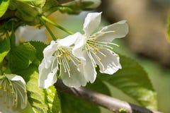 Kersen witte bloem Royalty-vrije Stock Foto's
