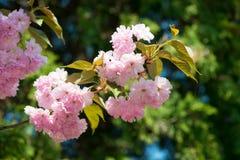 Kersenbloem, bloesem bij de lente stock afbeelding