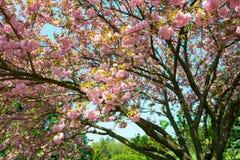 Kersenbloem, bloesem bij de lente royalty-vrije stock afbeeldingen