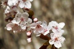 Kersenbloem, bloesem bij de lente stock afbeeldingen