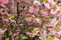 Kersenbloem, bloesem bij de lente royalty-vrije stock afbeelding