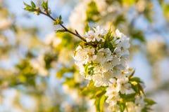 Kersenbloemen Stock Foto's