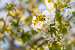Kersenbloemen Royalty-vrije Stock Afbeeldingen