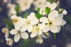 Kersenbloemen in bloesem Stock Foto's