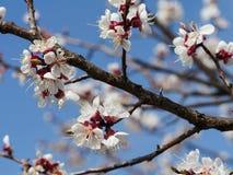 Kersenbloemen op blauwe hemelachtergrond stock foto