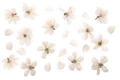 kersenbloemen op witte achtergrond worden geïsoleerd die Hoogste mening Vlak leg Reeks of inzameling royalty-vrije stock afbeeldingen