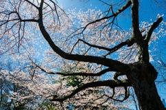 Kersenbloesem in Central Park, New York Stock Afbeelding
