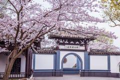 Kersenbloesem in Chinese tuin Royalty-vrije Stock Afbeeldingen