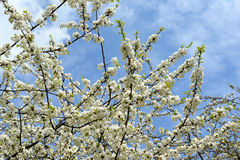 Kersenbloesem in de lente Royalty-vrije Stock Afbeelding