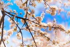 kersenbloesem in de lente Royalty-vrije Stock Afbeeldingen