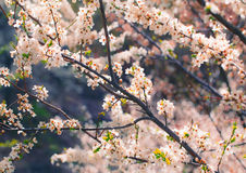 kersenbloesem in de lente Stock Afbeelding