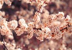 kersenbloesem in de lente Stock Afbeeldingen