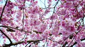 kersenbloesem in de lente stock videobeelden