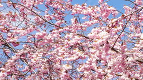 kersenbloesem in de lente stock video