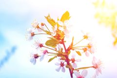 kersenbloesem in de lente gestemd Stock Foto's