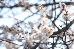 kersenbloesem in de lente stock foto's