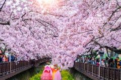 kersenbloesem in de lente Het Festival van Jinhaegunhangje is het grootste festival van de kersenbloesem in Zuid-Korea stock fotografie