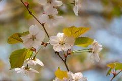 Kersenbloesem in de lente in het park Sluit omhoog stock afbeeldingen