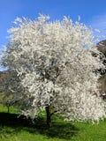 Kersenbloesem in de lente stock foto