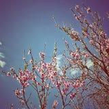 Kersenbloesem in duidelijke hemel Royalty-vrije Stock Afbeelding