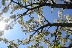 Kersenbloesem en zonnige stralen, heldere blauwe hemel Mooie lentetijd royalty-vrije stock foto's