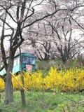 Kersenbloesem in het Park van Funaoka Joshi in Miyagi-prefectuur, Japan royalty-vrije stock afbeelding