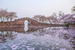 Kersenbloesem met brug en vijver Stock Foto's