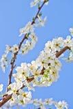 Kersenbloesem met witte bloemen stock fotografie