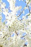 Kersenbloesem met witte bloemen stock foto