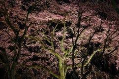 Kersenbloesem, nachtmening Kyoto Japan Stock Fotografie