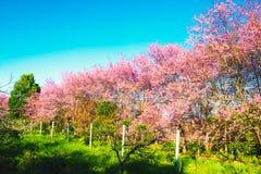 Kersenbloesem op bloeiende het landschapsachtergrond van de bloemenaard Stock Afbeeldingen