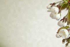 Kersenbloesem op perkamentachtergrond Royalty-vrije Stock Afbeelding