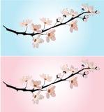 Kersenbloesem op roze en blauw Stock Foto