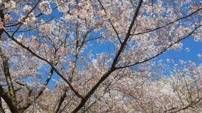 Kersenbloesem tijdens de lente stock videobeelden