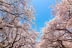 Kersenbloesem in uenopark Tokyo Japan 2015 Royalty-vrije Stock Fotografie