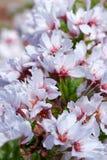 Kersenbloesems Royalty-vrije Stock Afbeeldingen