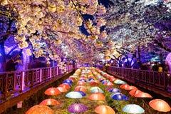 Kersenbloesems, busan stad in Zuid-Korea royalty-vrije stock afbeelding