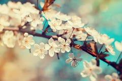 Kersenbloesems in de lente royalty-vrije stock afbeelding