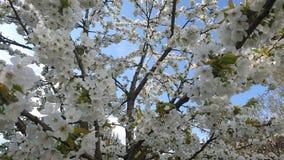 Kersenbloesems in de lente Stock Foto