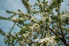 Kersenbloesems, de Lente, bloeiende tuinen, macrofotografie, zonsondergang stock foto