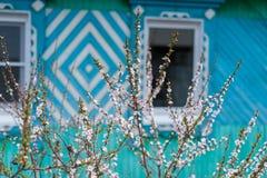 Kersenbloesems in de tuin van Siberië Stock Afbeelding